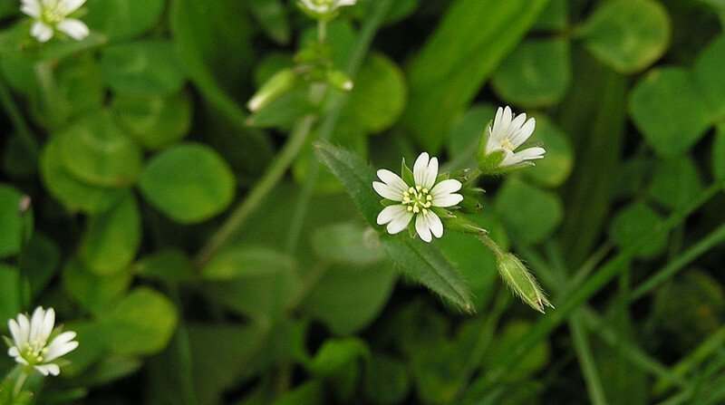 common mouse ear chickweed