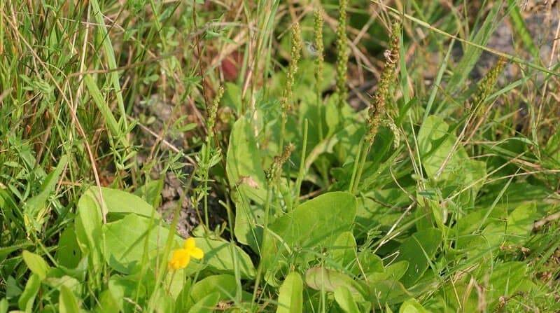 plantain weeds