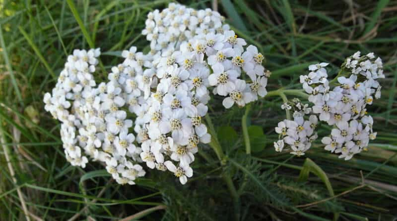 yarrow in lawn