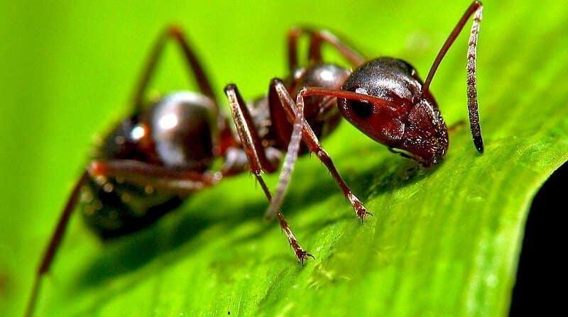 ants in lawn
