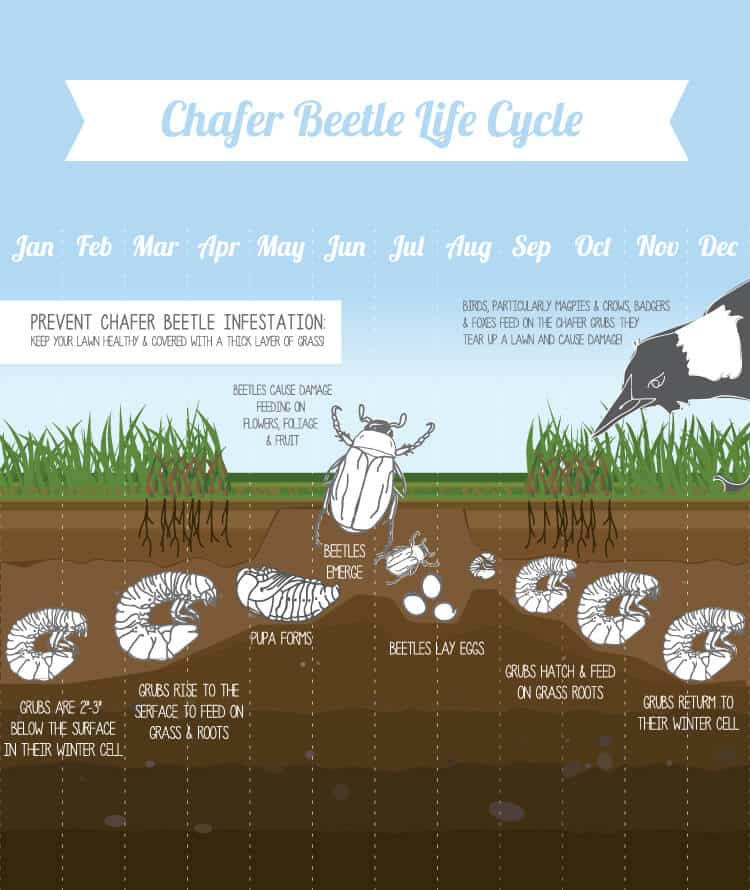 life cycle of a chafer beetle
