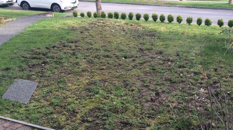 lawn damage caused by chafer grubs