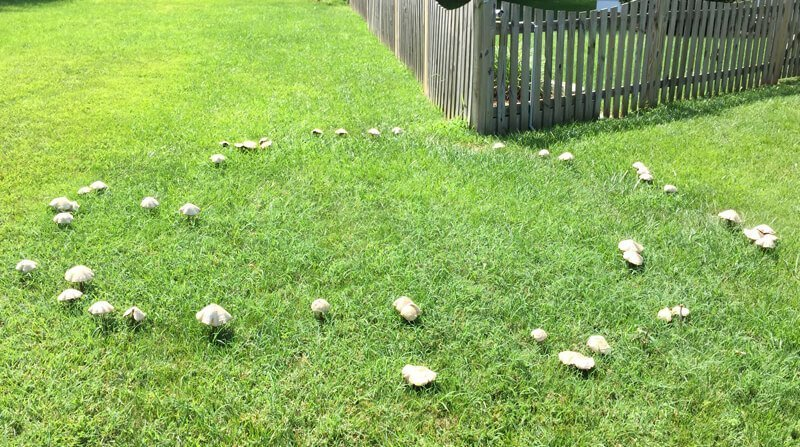 fairy rings in the lawn