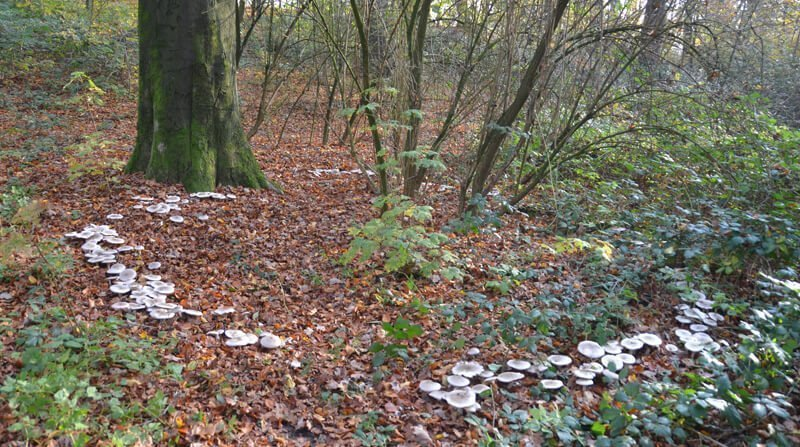 fairy rings in the forest