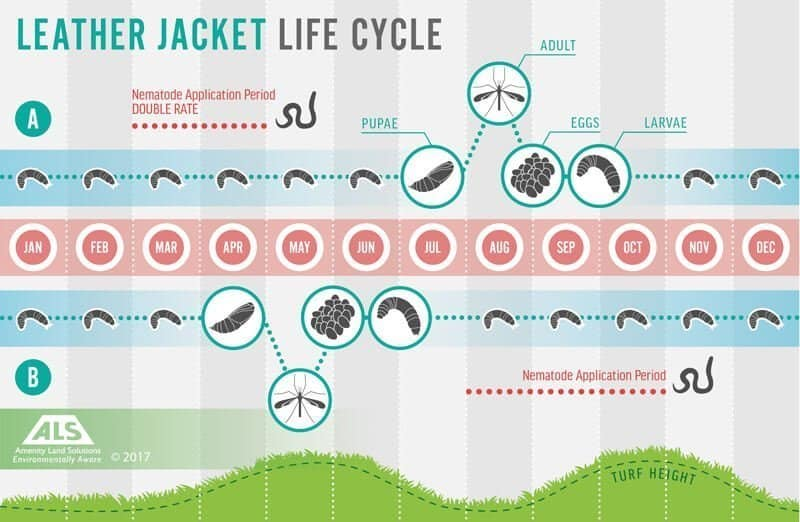 leatherjackets life cycle