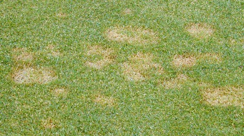 fusarium patch