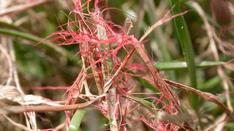 red thread in lawn