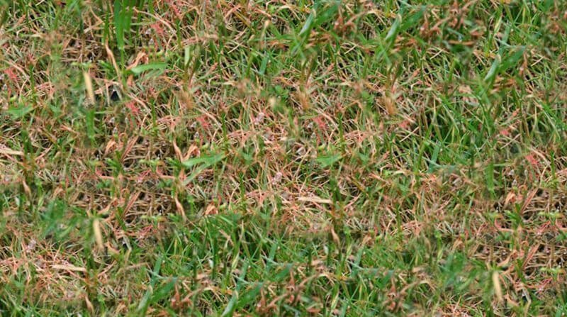 Red Thread & Pink Patch in the Lawn: What Causes it and ...