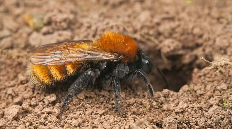 miner bees