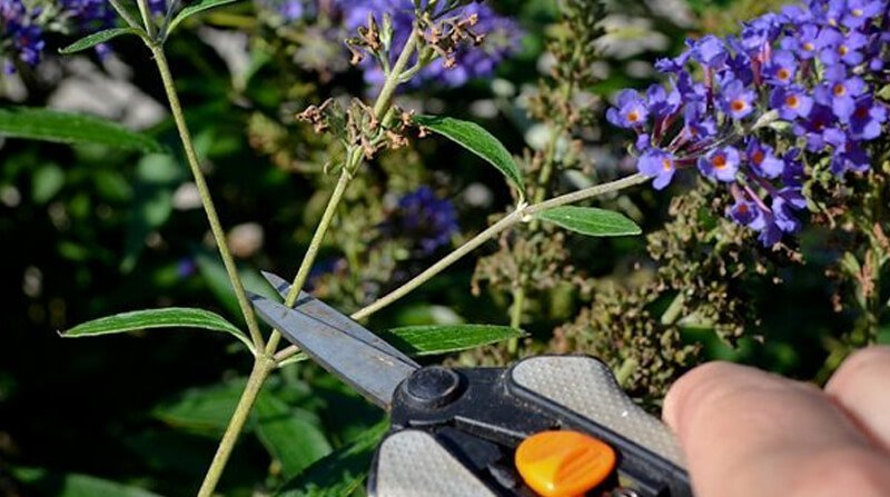 how to deadhead Buddleia
