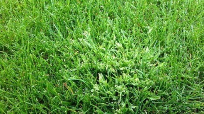 annual meadow grass