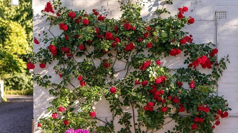 climbing rose sport