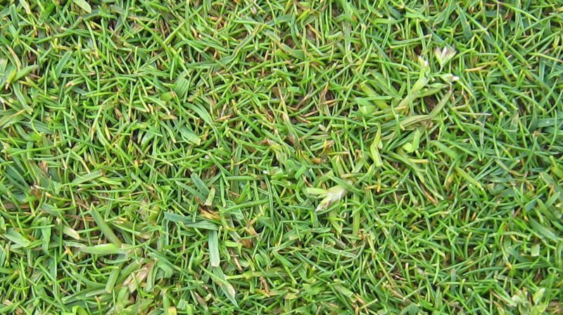 what is poa annua