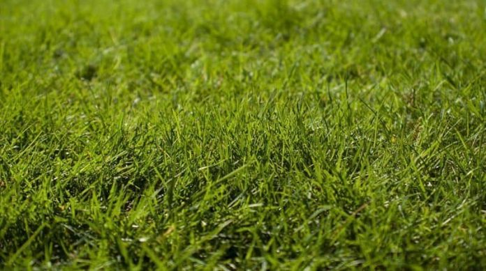 grass seed or turf