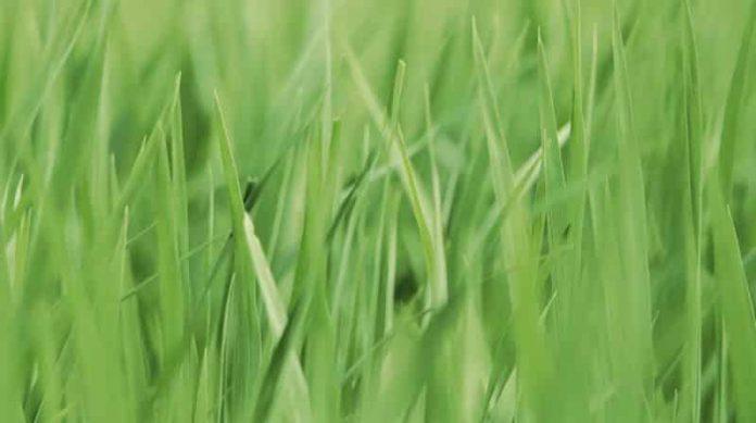how high should you cut grass