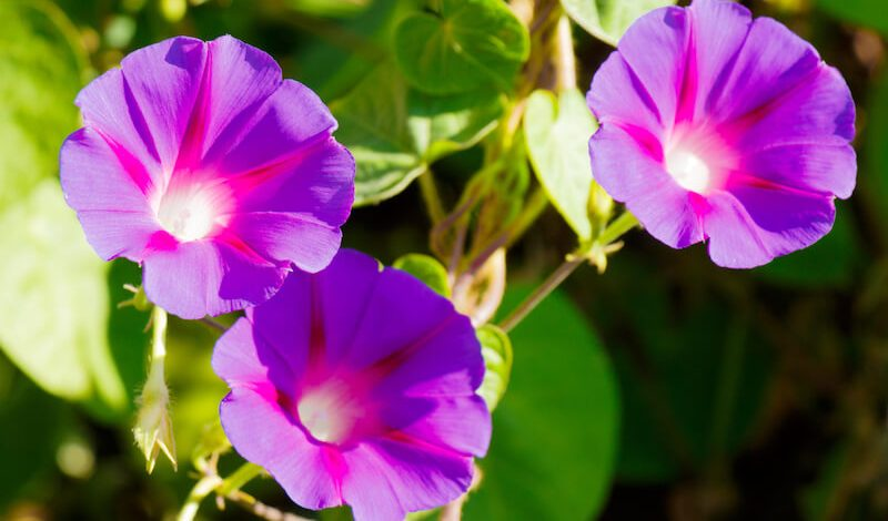 ipomoea purpurea morning glory